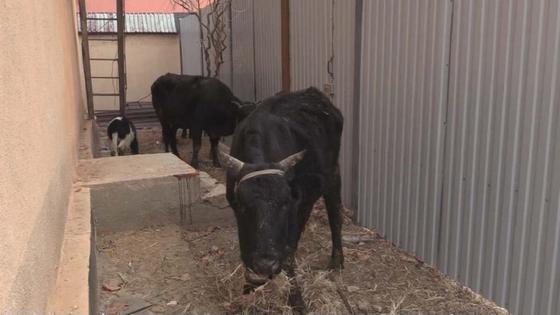 Коровы стоят во дворе