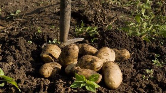 Лопата в земле и картофель