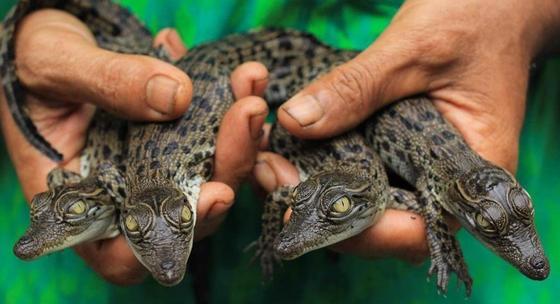 Россиянин провез в багаже из Мексики 30 крокодилов и ядовитую змею