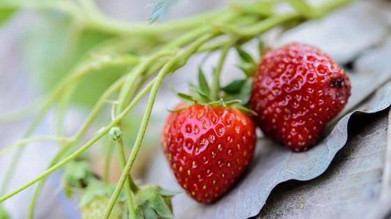 Две красные ягоды клубники на зеленых стеблях