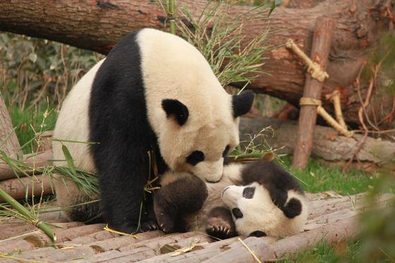 Арендованная в Китае панда родила детеныша в Южной Корее