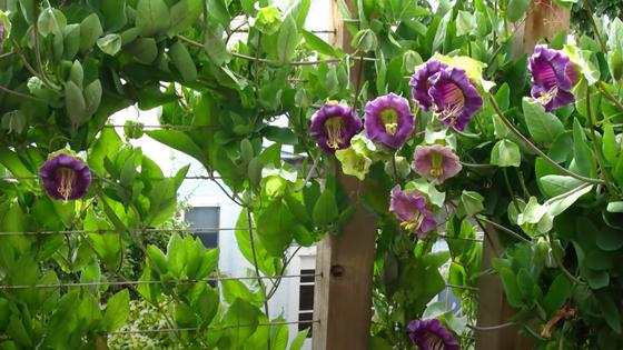 Вьющееся растение с сиреневыми цветами-колокольчиками