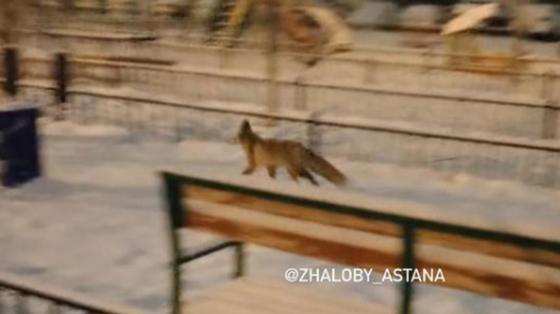 Дикая лиса разгуливает по дворе жилого комплекса