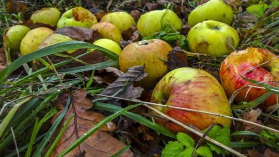 Яблоки в траве и сухих листьях