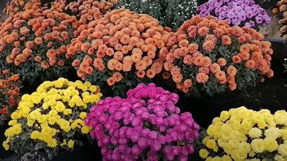 Шаровидные хризантемы разных расцветок