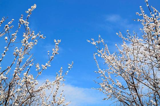 Цветущие деревья на фоне голубого неба