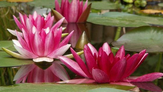 Кувшинки с розовыми лепестками плавают на воде