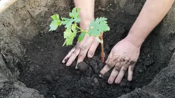 В глубокую яму высаживают саженец винограда