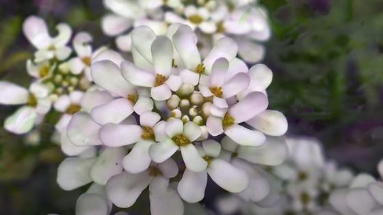 Соцветие из четырехлепестковых цветочков лилового цвета