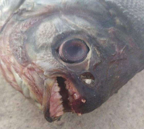 Рыба с человеческими зубами, пойманная в Шымкенте