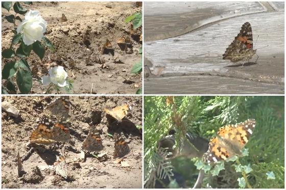 Нашествие бабочек в Актау сняли на видео