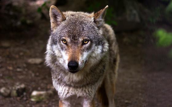 Волчица отомстила за смерть своих детей в Актюбинской области