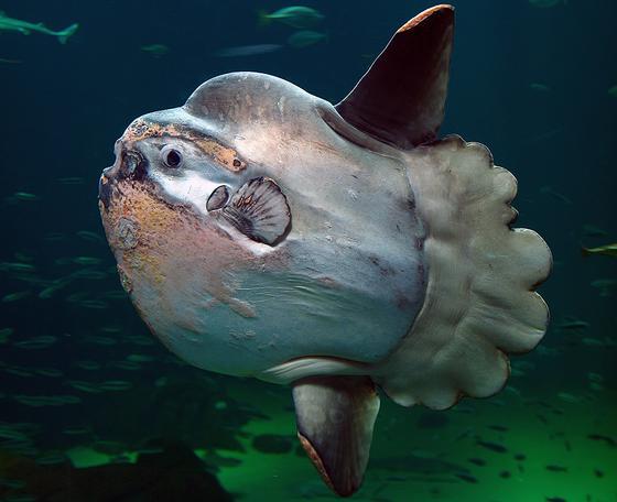 Круглая рыба