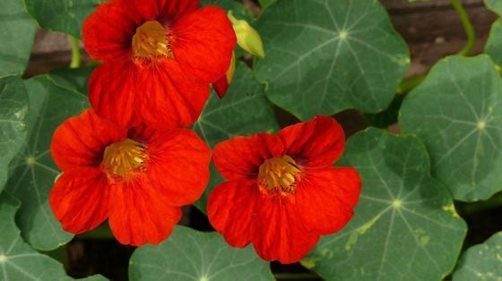 Цветки настурции