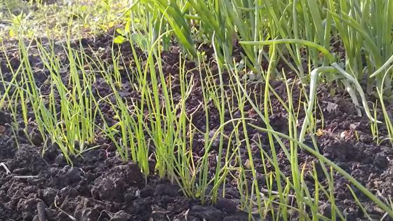 В грядке рядами растет зелень с мелкими зелеными перьями и более крупный зеленый лук
