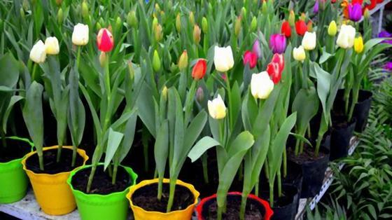 Цветущие тюльпаны в горшках