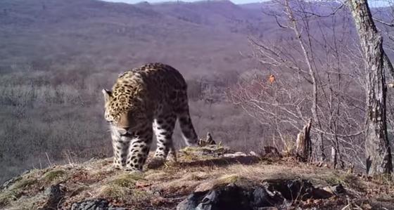 Самых редких в мире леопардов удалось поймать в фотоловушку