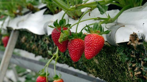 Спелые плоды клубники на кустах