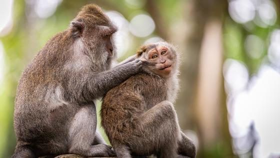 Коронавирус: ветеринары тревожатся за человекообразных обезьян и закрывают их в карантин
