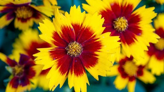 Цветки креопсиса