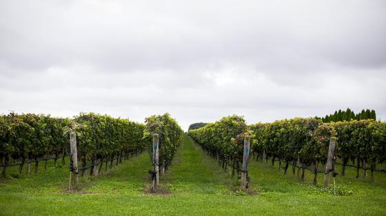 Виноград растет ровными рядами на опорах