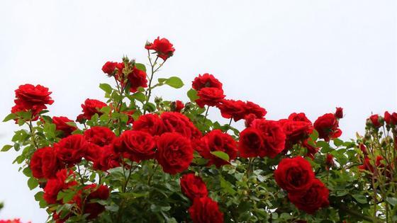 Пурпурно-красные плетистые розы