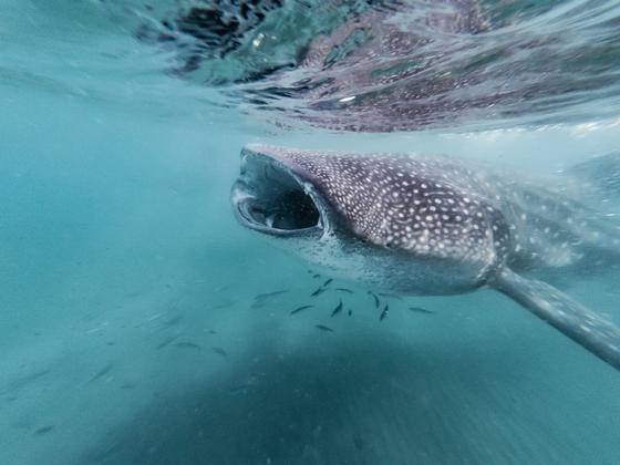 Китовая акула кормится