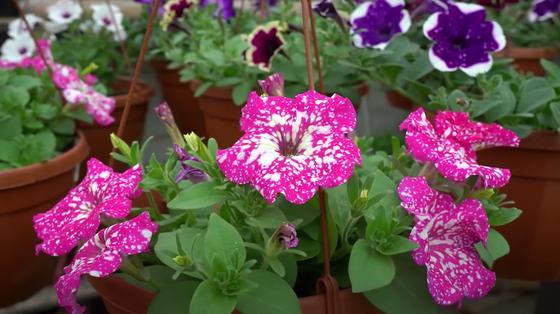 Петуния в горшках с розовыми цветками в белую крапинку