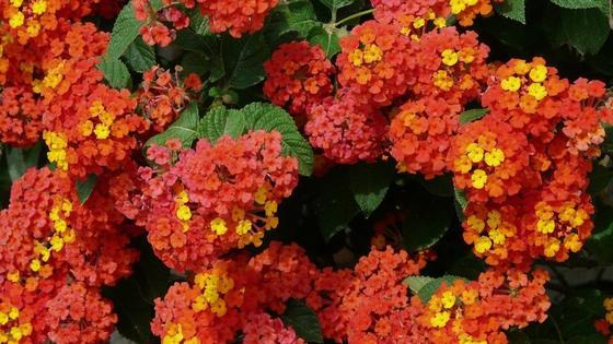 Пышные соцветия вербены с оранжево-желтыми цветками