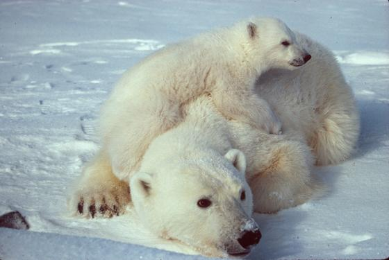 Белый медвежонок залез на медведицу
