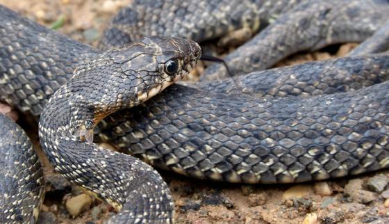 """""""Пройдите мимо!"""": к алматинцам обратились из-за змей в мегаполисе"""