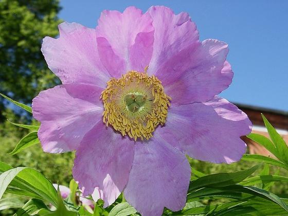 Крупный розовый цветок