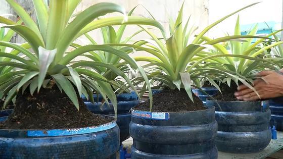 Кустики ананаса пересаживают в большие пластмассовые емкости