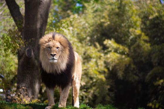 Лев в лесу