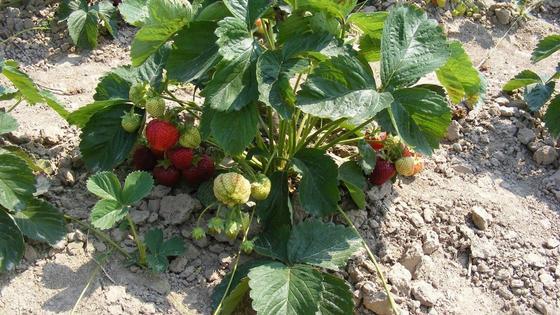 Куст клубники с красными и зелеными ягодами