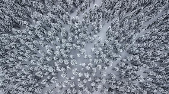 Лес елки