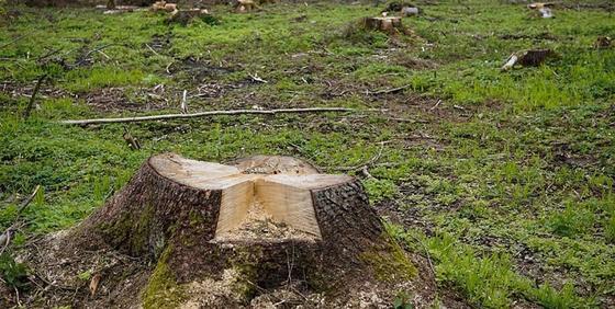 Алматинцы пожаловались на вырубку более 2 тыс. деревьев в Бутаковском ущелье