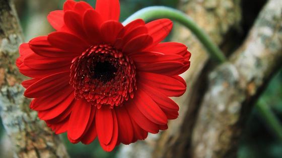 Цветок герберы с красными лепестками