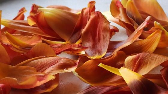 Осыпавшиеся лепестки тюльпанов
