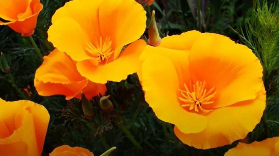 Желтые цветы эшшольции с большими лепестками