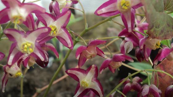 Ажурные цветки горянки