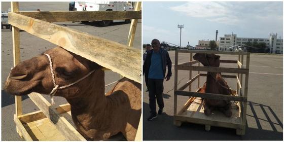 Горбатый рейс: Для съемок в Грузии из Актау вылетели верблюды
