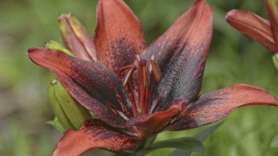 Цветок лилии с оранжево-коричневыми лепестками