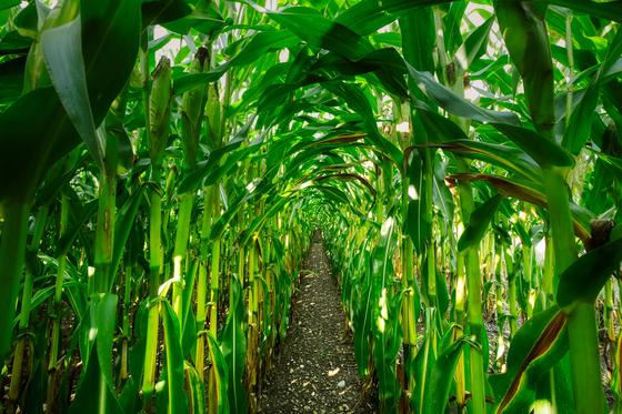 Кукуруза растет в огороде