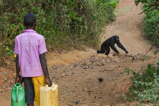 Африканские шимпанзе выслеживают и похищают местных детей