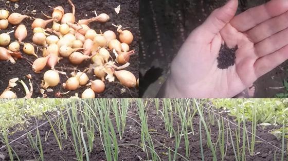 На земле рассыпаны луковицы, в руке держат лук-чернушку, внизу рядами растет зеленый лук