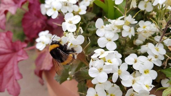 Соцветия арабиса с мелкими белыми цветками