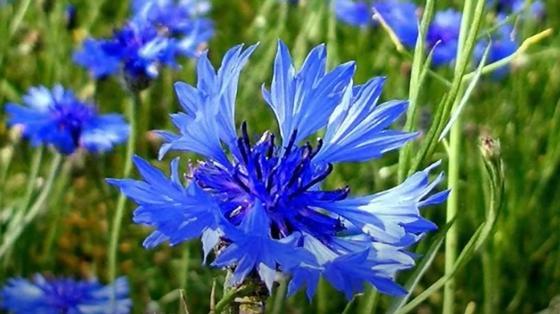 Синие цветы васильков с оригинальным соцветием