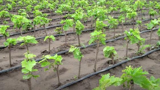 Саженцы винограда с зелеными листьями рядами