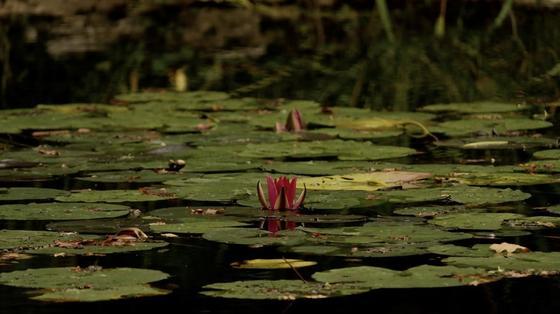 Среди плоских зеленых листьяв на воде показались лепестки красных цветов